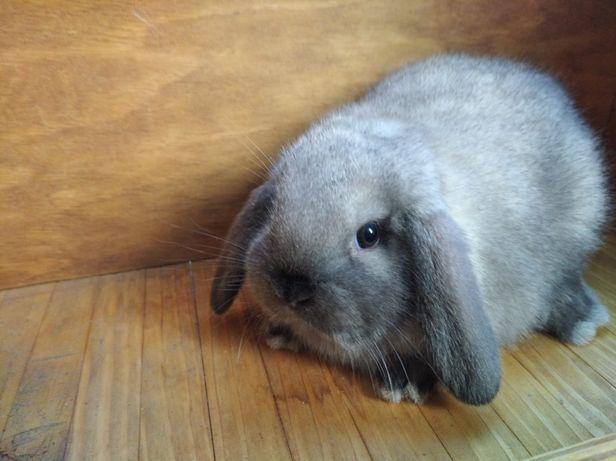 Декоративные кролики породы Mini lop