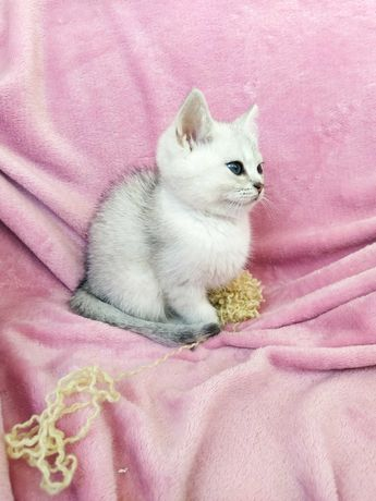 Котёнок британской серебристой шиншиллы