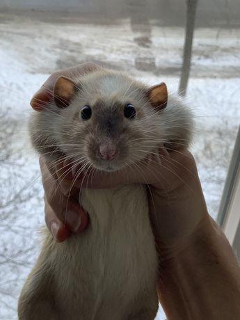 Отдам крысу, пацюка