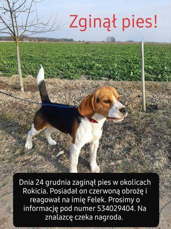 Zaginoł pies rasy beagle.