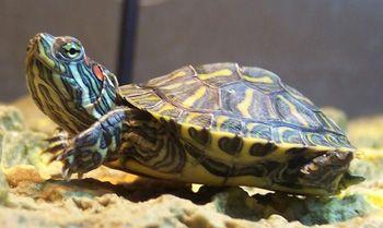 черепаха касноухая
