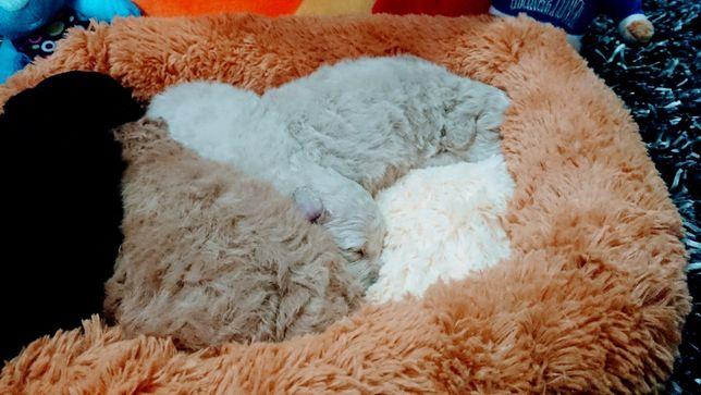 очаровательные щенки мальтипу F1, adorable F1 maltipoo puppies