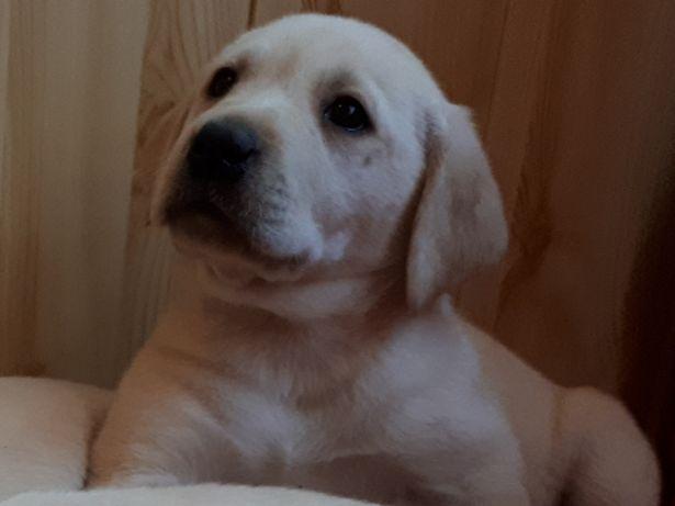 Labrador szczenięta
