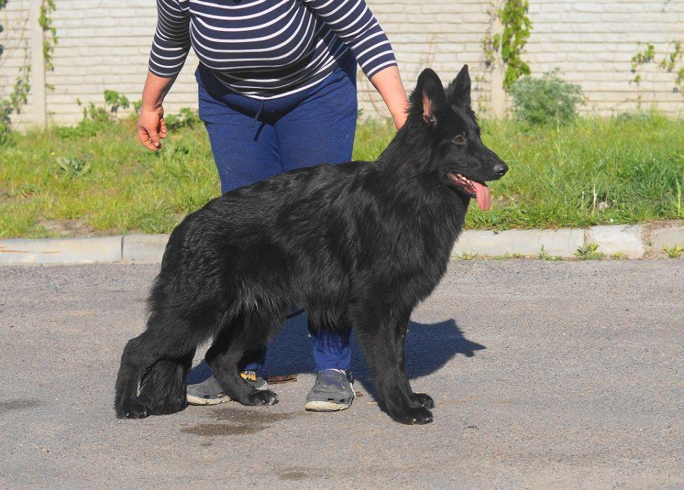 длинношерстная чёрная немецкая овчарка Днепр - изображение 1
