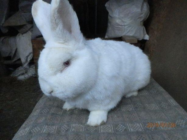Продам кроликів породи нзб
