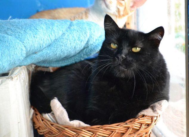 жовтоока поважна чорна кішка 2р