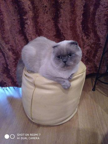 Шотландский веслоухий кот ищет невесту !!!