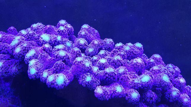 Stylophora Milka koralowiec akwarium morskie