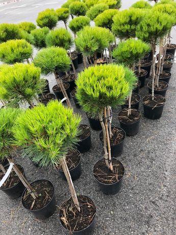 Sosna Pinus densiflora 'Low Glow' hurt Faktura
