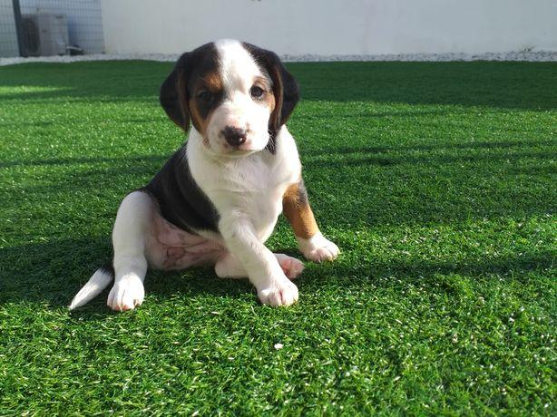 Fêmea Beagle Tricolor