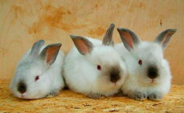 Чистокровные калифорнийские кролики