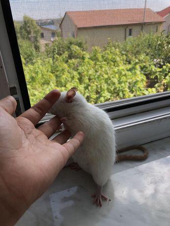 Продам крыску
