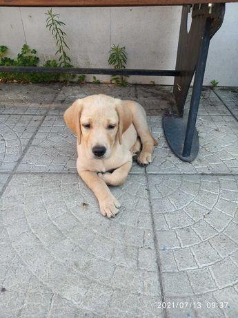 Лабрадор щенок, в добрую семью.