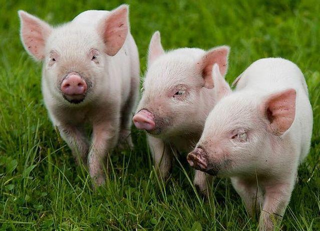 Поросята, свині