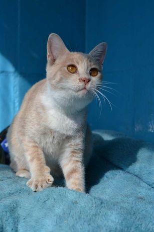 Кішечка персикого окрасу, вік 6 міс.