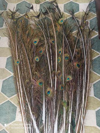 Paw- pióra, ogon pawia
