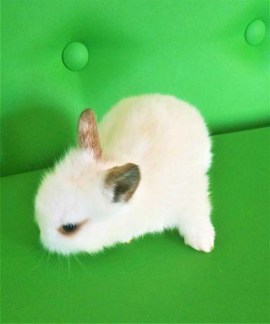 Кролик декоративный, детеныш (крольчонок).