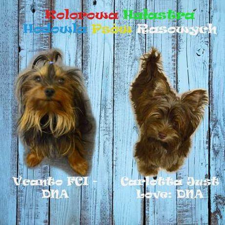 Yorkshire Terrier york czarne podpalane, DNA, 4 pok rod, paszport XXXS