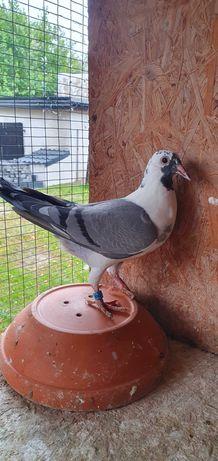 Gołębie pocztowe z mistrzowskiej hodowli