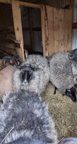 Wrzosowki owce kotne by