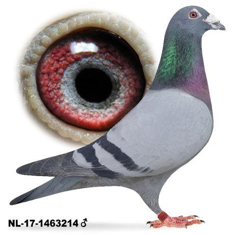 Młode 2021 para 29 Oryg. Huub Hermans inbred gołąb gołębie pocztowe