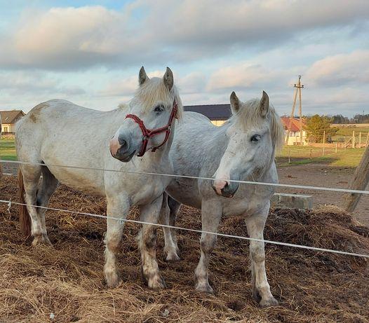 Konie , klacze ,
