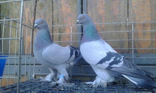 Blauwindry para 2020 rok blauwinder ptaki gołębie ozdobne