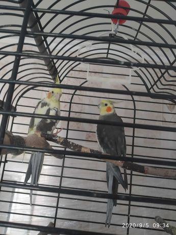 Попугаи Карелла пара мальчик и девочка