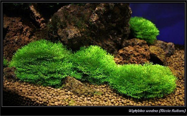 Wgłębka wodna (porcja 50ml.)