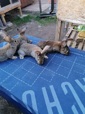 Sprzedam króliki młode belgi