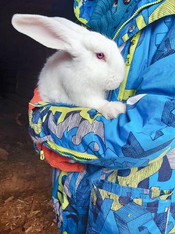 Продам кролей панон, на племя
