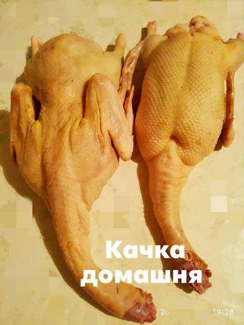 Тушки домашньої качки