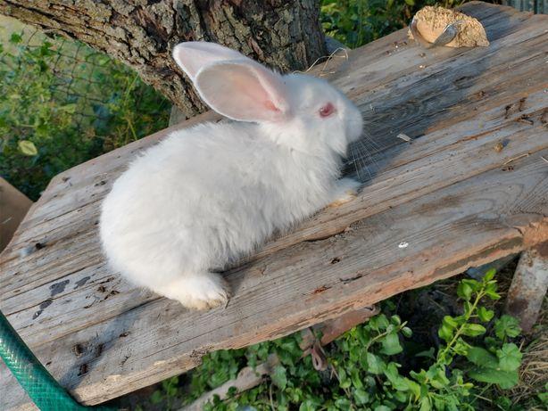 Królik króliki termondzki biały