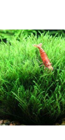 Mech stringy moss