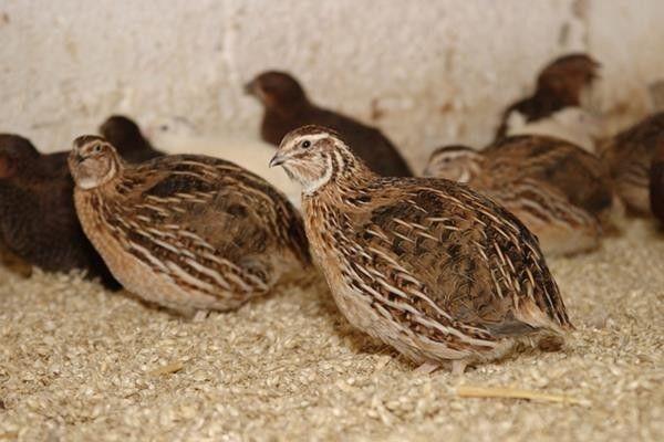 Przepiorki, jajka domowa hodowla