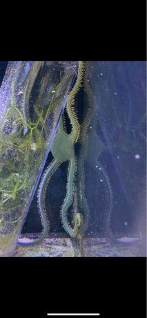 Werzowidlo  ophiothrix akwarium morskie