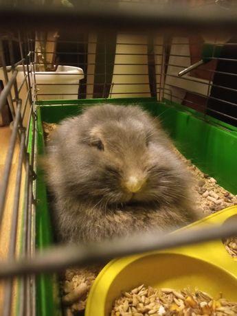 Декоративний кролик дівчинка