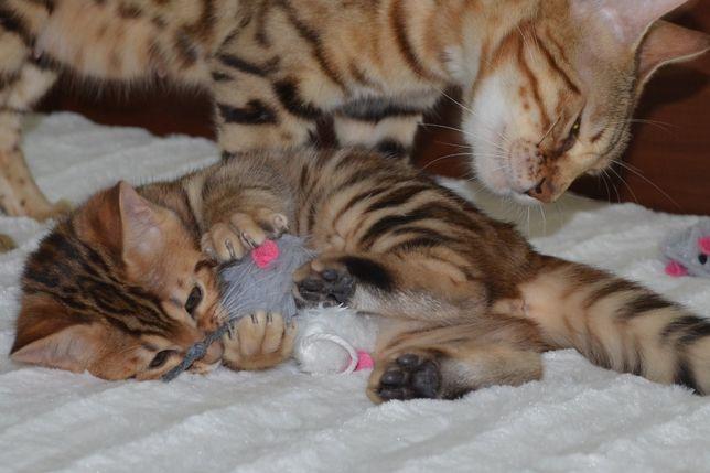 Koty bengalskie z Schelwood*Pl - mamy kociaki !