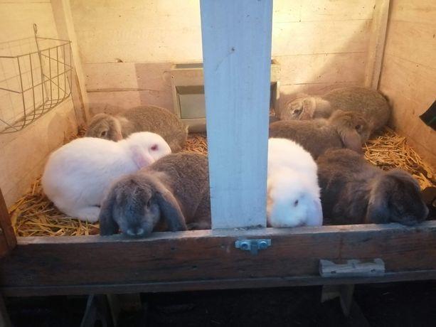 Króliki baran francuski, samce i samiczki, białe, szynszylowe