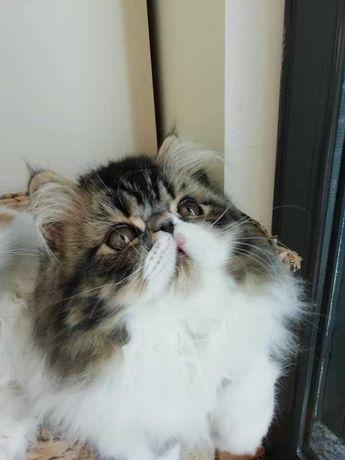 Gato persa macho tabby e branco