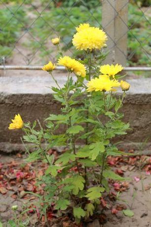 бардюрная хризантема