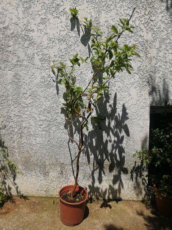 Planta da goiaba de vários tamanhos