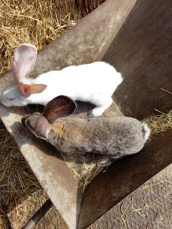 Królik, króliki belgi
