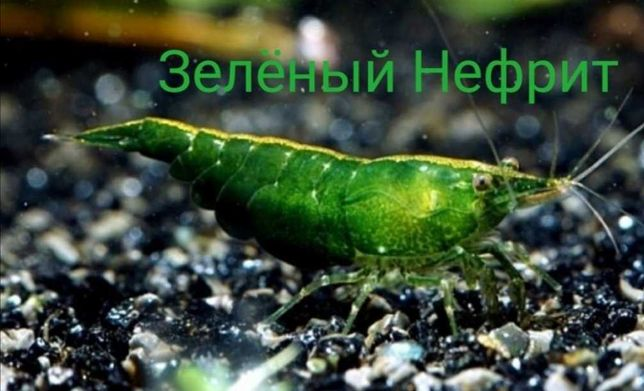 Креветка аквариумная Блю Дрим и Зелёный Нефрит