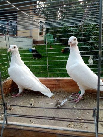 Gołębie białe pocztowe