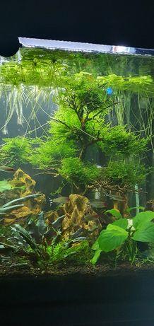 Bonsai aquário com musgo
