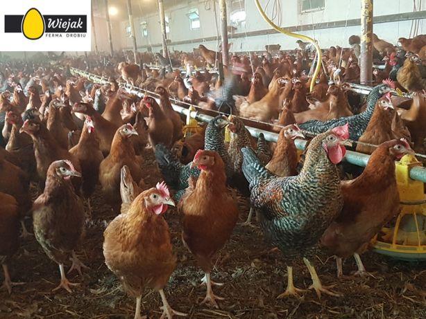 kurki odchowane kury brojlery nioski młode kurczaki ferma drobiu