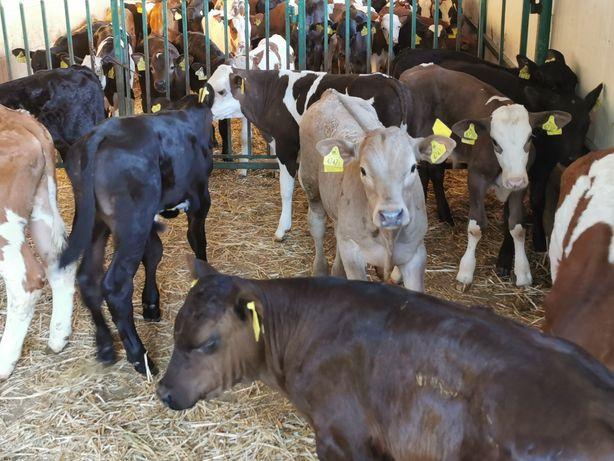 Byczki POLSKIE cielaki cielęta 50-80 KG 80-100kg