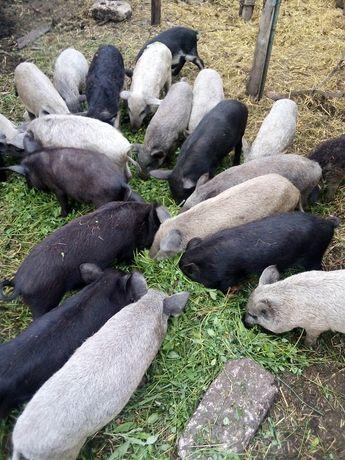 Продам Поросята свинки мангалица кармалы