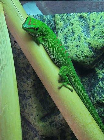 Jaszczurka dzienna zielona